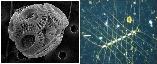 Coccolithophores, left, are an important phytoplankton group that use