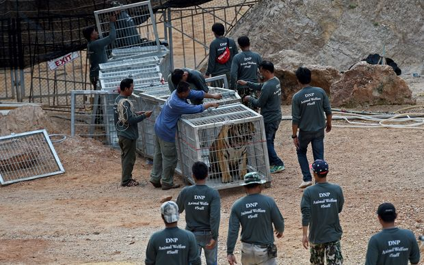 Thai wildlife officials use a tunnel of cages to capture a tiger and remove it from an enclosure at the Wat Pha Luang Ta Bua Tiger Temple in Kanchanaburi province.
