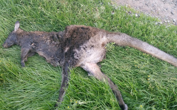 The Southland Regional Council has been left stumped after a dead wallaby was found near Gore, a far cry from South Canterbury where they are usually found in the South Island.
