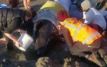 Volunteers care for a stranded pilot whale on Waimairi Beach.