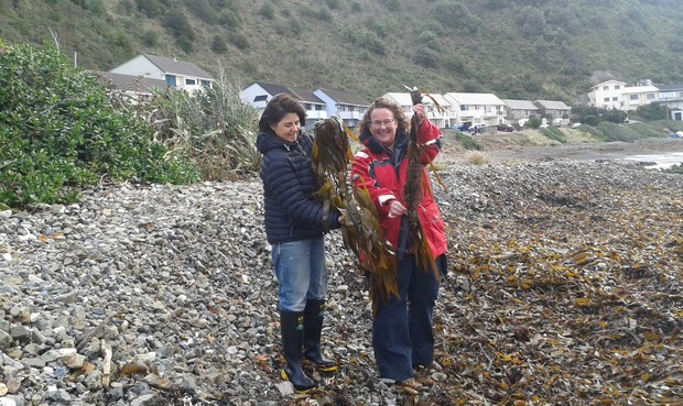 Roberta D'Archino, left, and Kate Neill, who are both at NIWA, collecting large seaweeds that have washed ashore on a beach in Lyall Bay, Wellington.