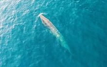 Brydle's whales, as captured in footage taken from an AUT drone.