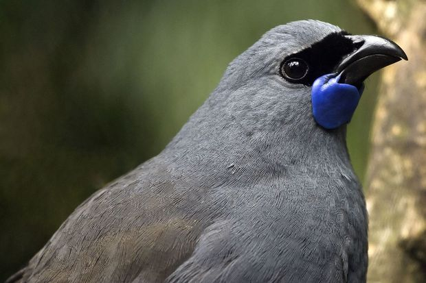 A North Island Kōkako (callaeas wilsoni) head in closeup.