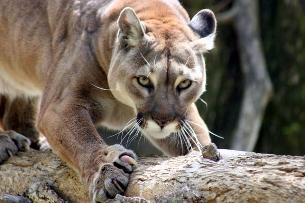 There are an estimated 4500 mountain lions in Colorado.
