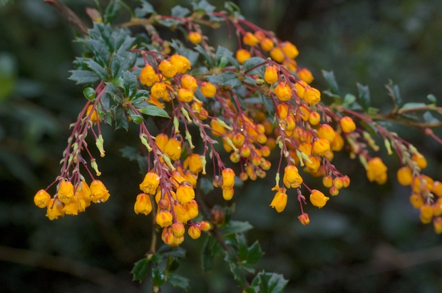 In spring dense infestations of Darwin's barberry cover hillsides in a blanket of orange flowers.