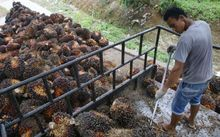 A plantation worker harvests fruit from oil palm trees in Indonesia's North Sumatra province.