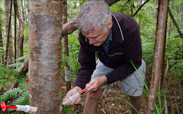 Dr Ian Horner injects a young kauri tree  with phosphite.