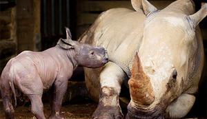 Southern white rhino born at Hamilton Zoo in late June 2016.