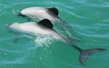 Endangered Māui's dolphins could be threatened by underreported dolphin deaths by fishing.
