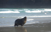A male New Zealand sea lion walks the beach at Sandfly Bay on the Otago Peninsula.