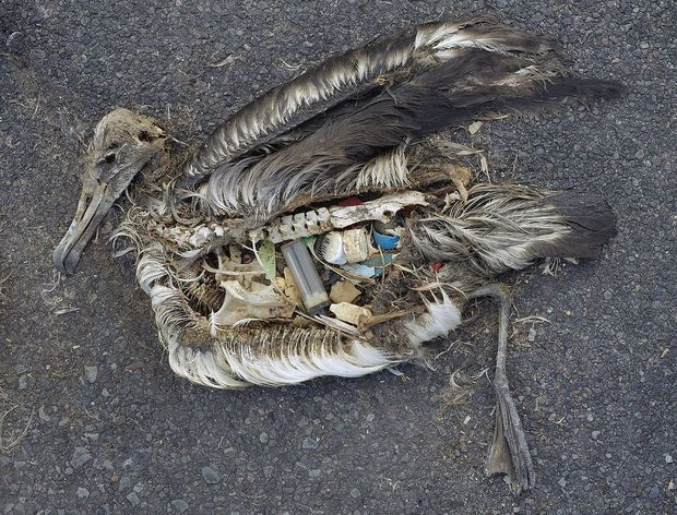 Albatross carcass with plastic