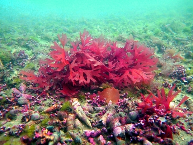 Bright red seaweed surrounded by cone shaped shellfish and algae on the seabed in the Marlborough Sound