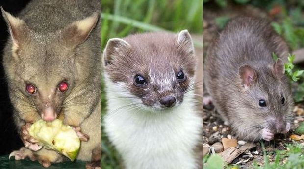 The unholy trinity of pestilence - possums, stoats and rats.