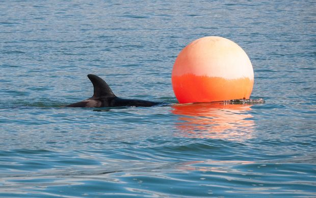 An orca calf separated from its pod swims in Tauranga Harbour.