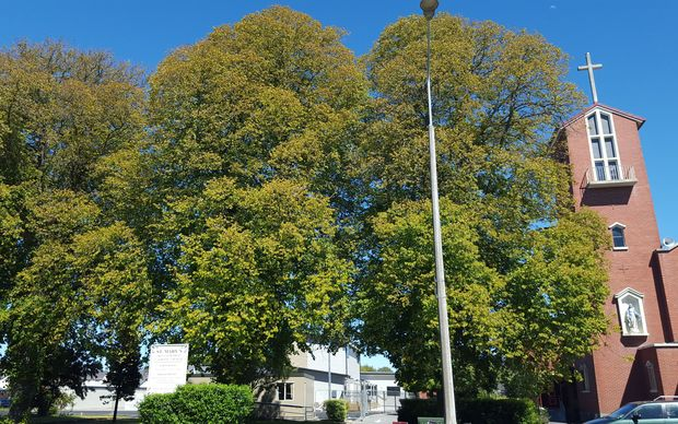 Protected lime trees in Christchurch.
