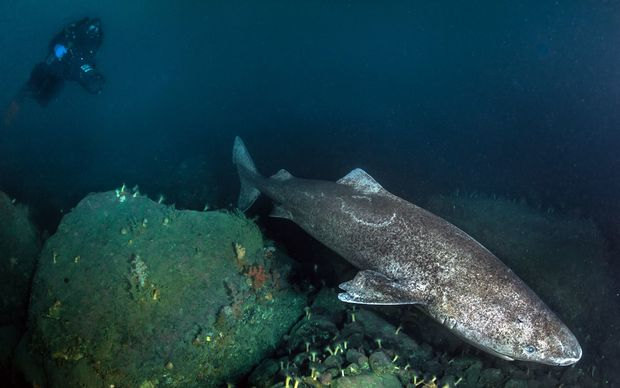 A greenland shark - an animal that can live for up to 400 years.