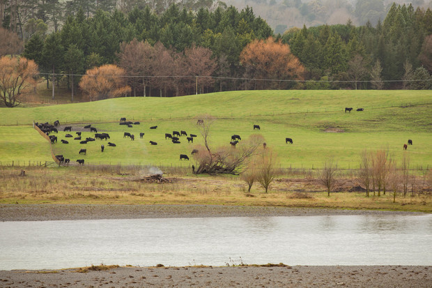 Cows by the Tukituki River