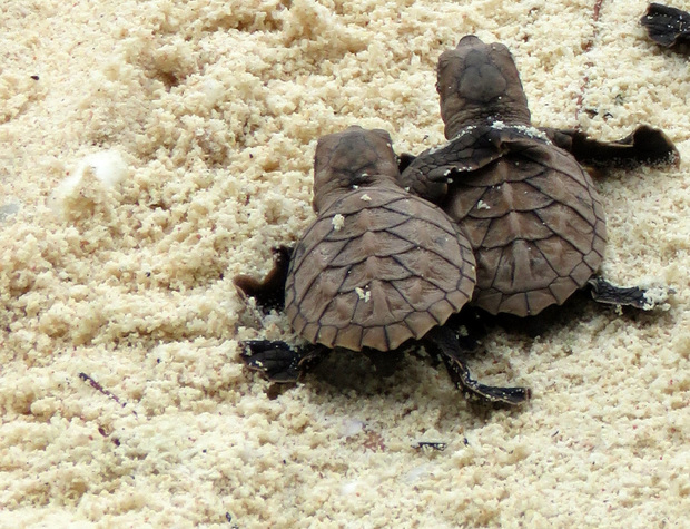 Baby hawksbill sea turtles crawling to the sea after hatching in the Arnavon Islands.