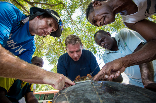 Conservation officers hold the hawksbill turtle while Conservancy scientists attach a satellite tag.