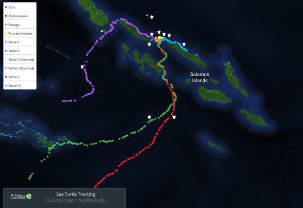 Tagged hawksbill turtles are tracked and their journeys mapped.