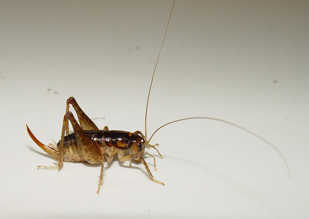 One of the newly discovered species of ground wētā – Bruce's wētā, Hemiandrus brucei.