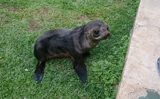 The baby sea lion was found on the French Polynesian island of Raivavae last Saturday.