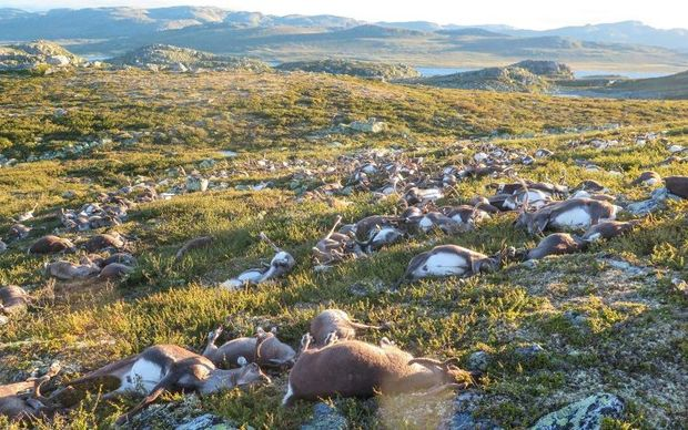 Reindeer struck by lightning litter a hill side on Hardangervidda mountain plateau in central Norway.