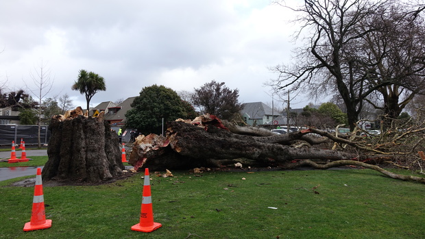 A huge tree in Cranmer Square was one of a number in Christchurch toppled by strong winds.