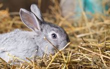Rabbit on dry straw