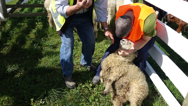 Tutor Graeme Allomes showing prisoners how to correctly catch sheep.