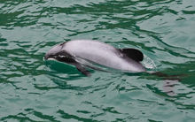 Hector's dolphin.