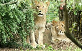 Male lions Motshegetsi (L) and Majo in their enclosure at the zoo in Leipzig, eastern Germany.
