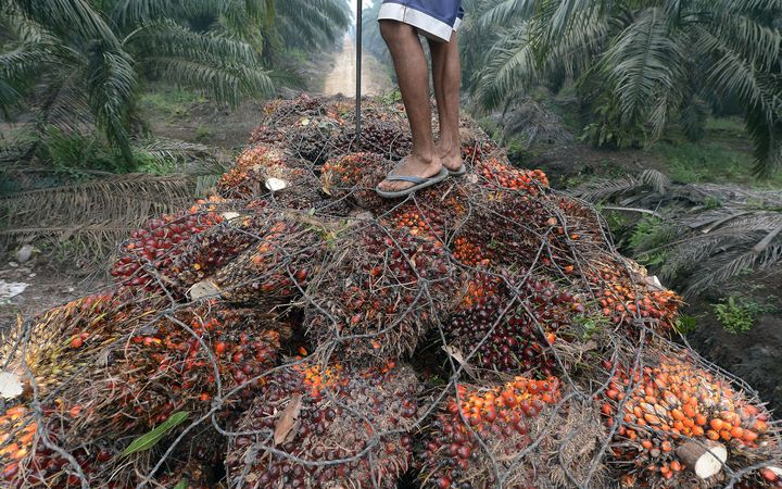 A worker stands on palm oil seeds in the back of a truck at a plantation area in Pelalawan, Riau province in Indonesia's Sumatra island.