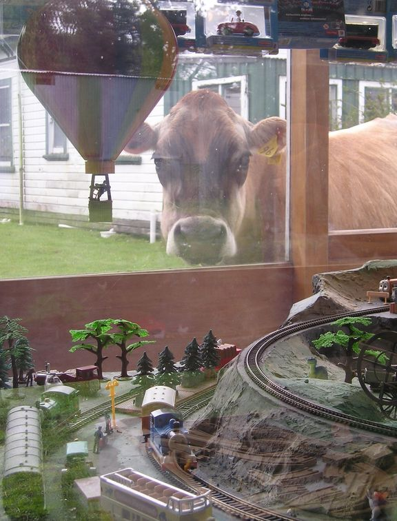 One of Biddy Fraser-Davies' cows.
