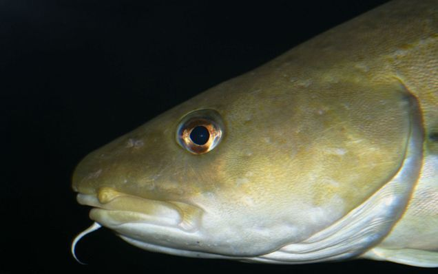 Do fish have accents radio new zealand news for Atlantic cod fish