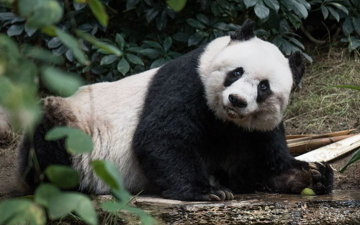 Giant panda Jia Jia turns 37 at an amusement park in Hong Kong, making her the oldest giant panda ever kept in captivity.