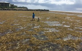 Brown algae blankets ocean side reefs that are several miles down-current from the raw sewage outfall pipe in the downtown area of Majuro, the capital of the Marshall Islands.