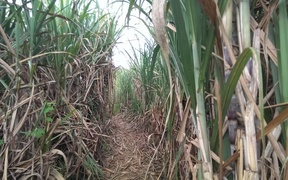 A sugar cane field in Fiji.
