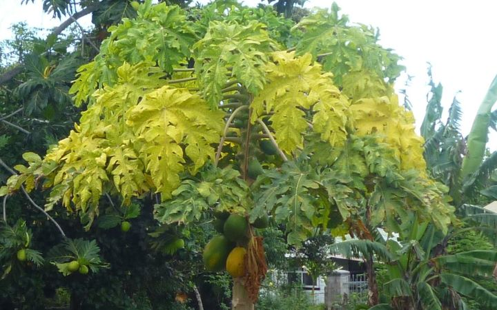 Pawpaw tree turning yellow, possibly due to new virus in Tonga