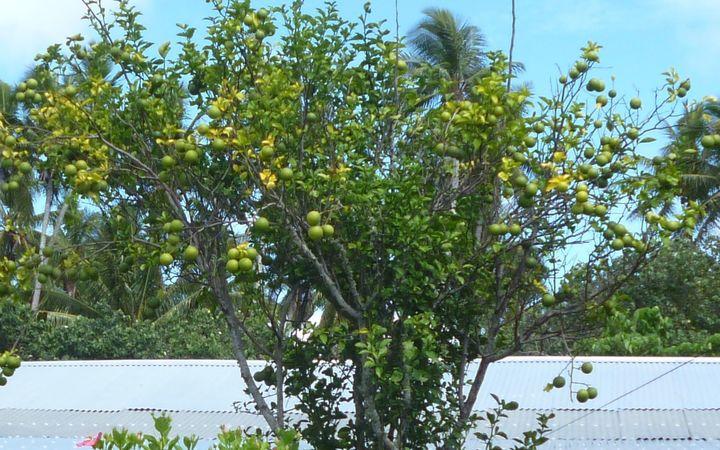 A typical orange tree in Tonga