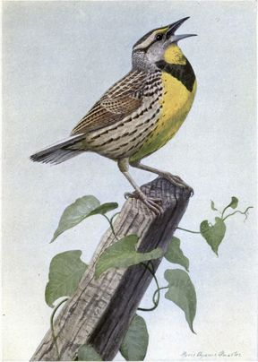 Carol the Meadow Lark. Illustration by Louis Agassiz Fuertes of an Eastern Meadowlark (Sturnella magna), from The Burgess Bird Book for Children