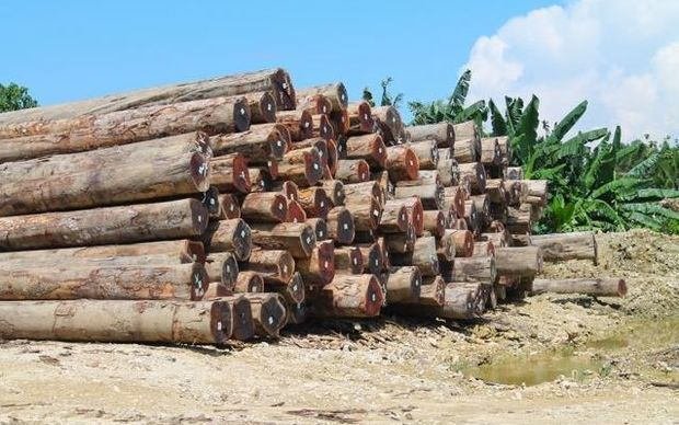Harvested logs in PNG
