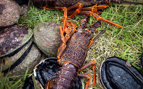 Paua and crayfish sit on green grass.