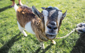 Billy the goat gets up close and curious with the RNZ camera. 18 November 2016.