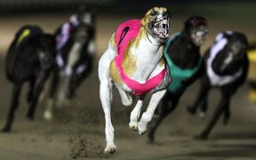 The inquiry will look into aspects of the racing and breeding of greyhounds.