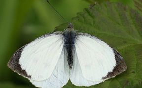 The great white butterfly