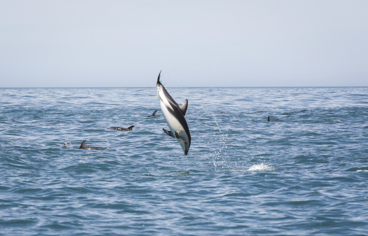 Swimming with dolphins with Encounter Kaikoura
