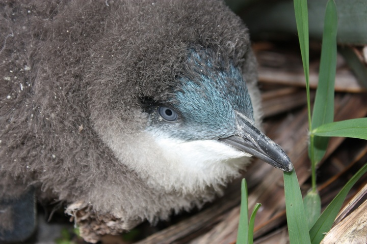 A little blue penguin chick.