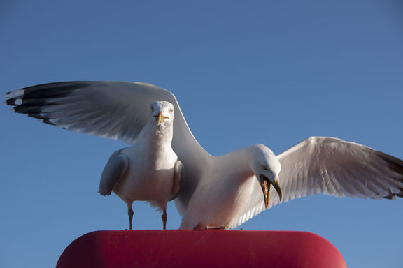 It's seagull attack season - hide your cats | RNZ News