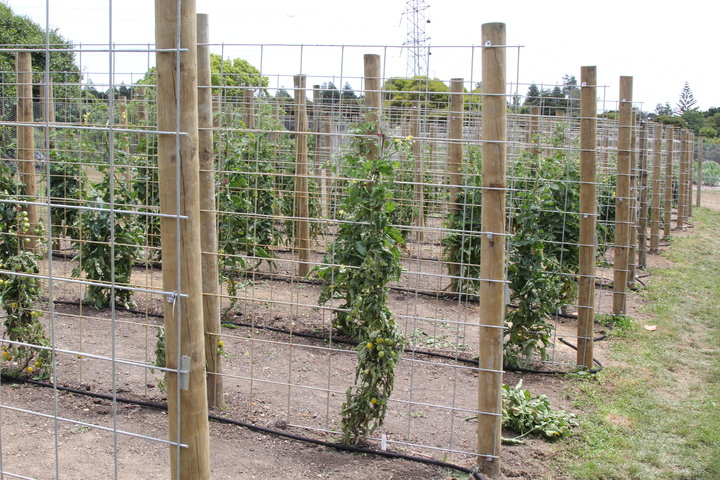 Thirteen varieties of tomatoes are being tested for their performance in Auckland Conditions at Auckland Botanic Gardens this summer.